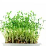 節約野菜「豆苗」の栄養と美容効果♡